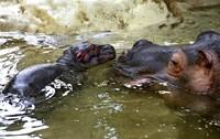 Flusspferdbaby gestorben