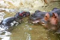 Totes Flusspferdbaby hatte wohl zu wenig Milch getrunken