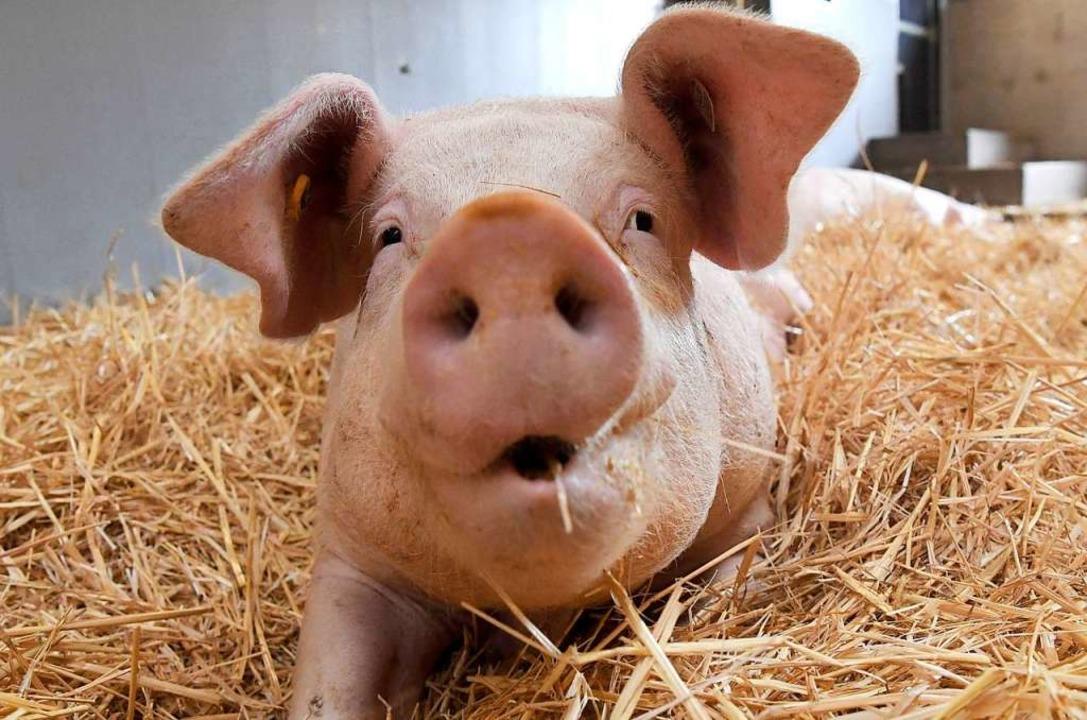 Wie das Schwein bis zur Schlachtung ge...arkt künftig leichter erkennen können.  | Foto: dpa