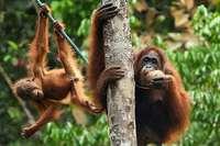 Noch gibt es Hoffnung für die Orang-Utans auf Borneo