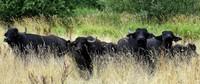 Büffelfleisch aus dem Rieselfeld