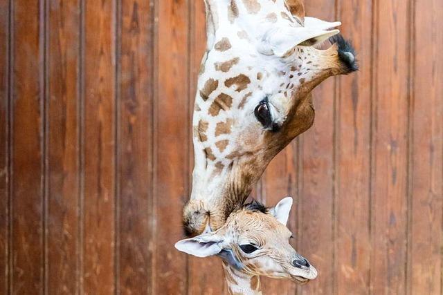 Nachwuchs bei den Kleinen Kudus und Kordofan-Giraffen im Basler Zoo