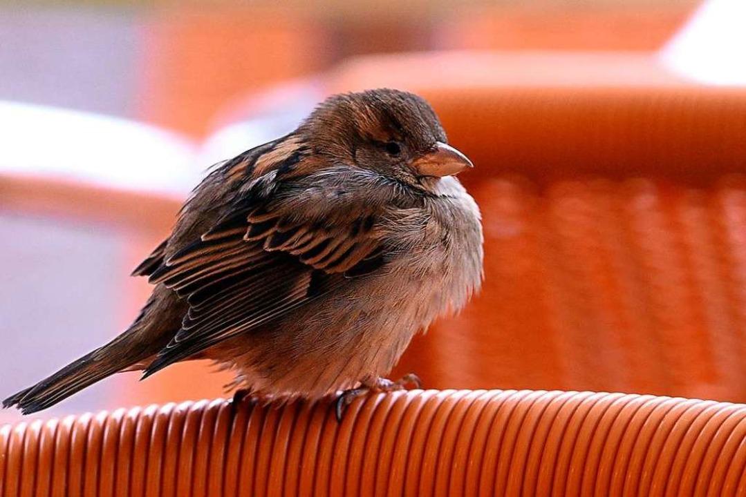 Fühlt sich in Freiburger Gärten wohl, ...winterlichen Vogelzählaktion belegte.     Foto: Thomas Kunz