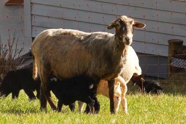 Welches Tier hat in Grunern zwei Schafe gerissen?