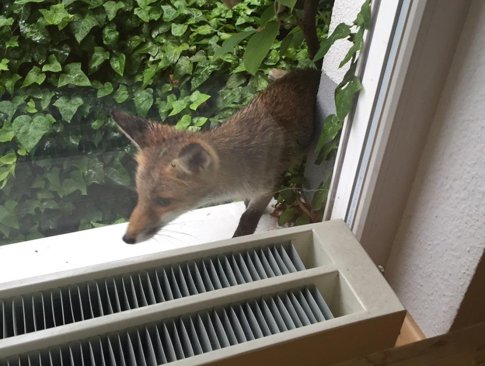 Brigitte Zschau beobachtete diesen Fuchs in Freiburg-Mooswald.  | Foto: Brigitte Zschau