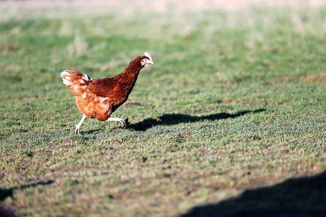 Warum Angestellte im Silicon Valley auf die beruhigende Kraft von Hühnern setzen