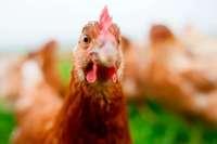 Wann legt ein Huhn eigentlich ein weißes und wann ein braunes Ei?