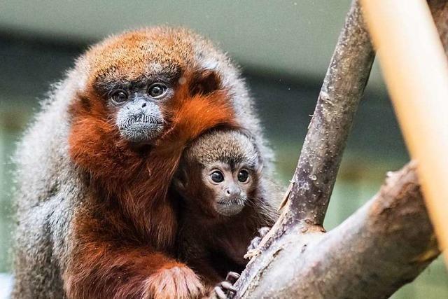 Die Basler stimmen doch über den Schutz der Primaten ab