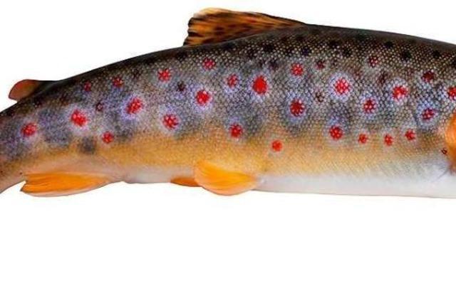 Warum Angler aus Neustadt Bachforellen für die Gutach züchten