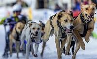 Schlittenhunderennen 2019 findet am kommenden Wochenende in Todtmoos statt