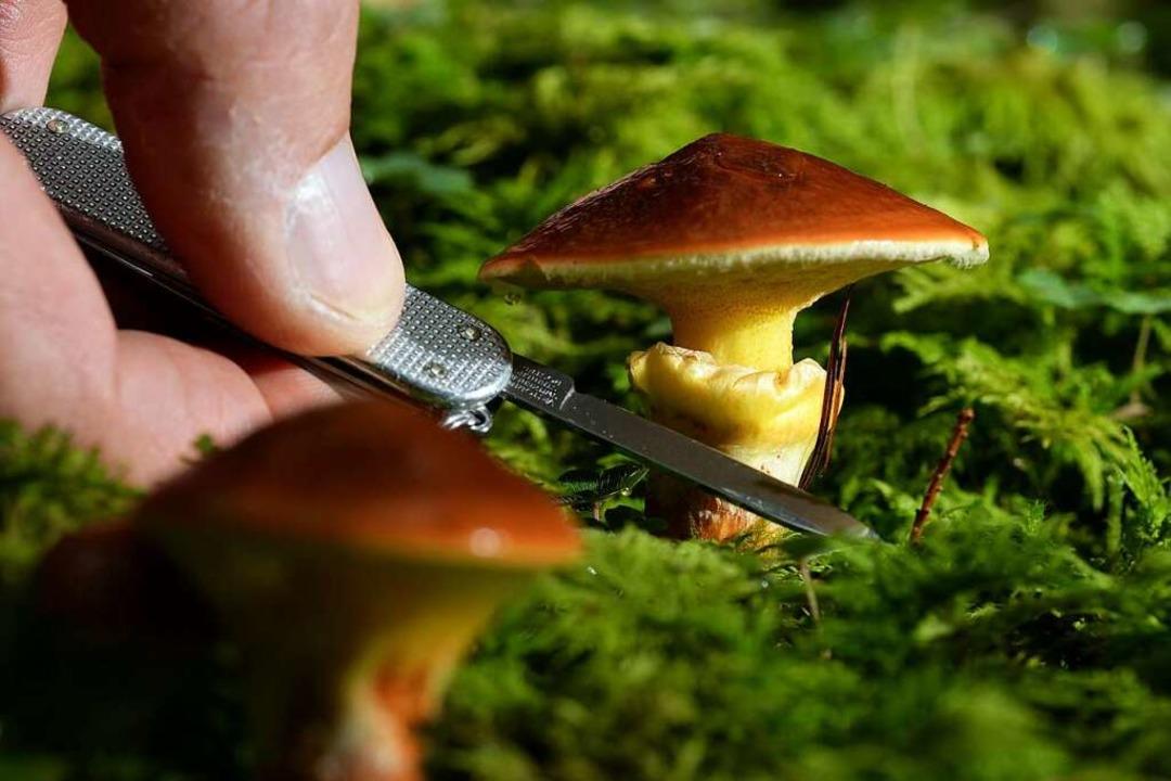 Zwei Maronenröhrlinge (Xerocomus badiu...r an den Stängel eines Pilzes ansetzt.  | Foto: dpa