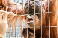 Vaterschaftstest bei Orang-Utans mit überraschendem Ergebnis