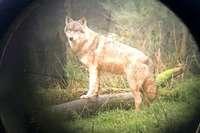 """Ein Wolf hat in Wolfach ein Schaf gerissen – War es wieder """"GW852m""""?"""