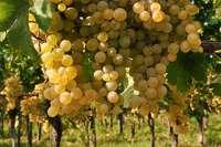 Der Badische Weinbauverband hat mit etlichen Sorgen zu kämpfen