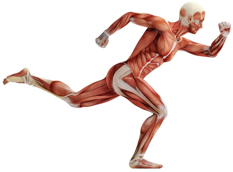 Dem Menschen unter die Haut geschaut: Muskeln von oben bis unten    | Foto: Illustration:adobe.com