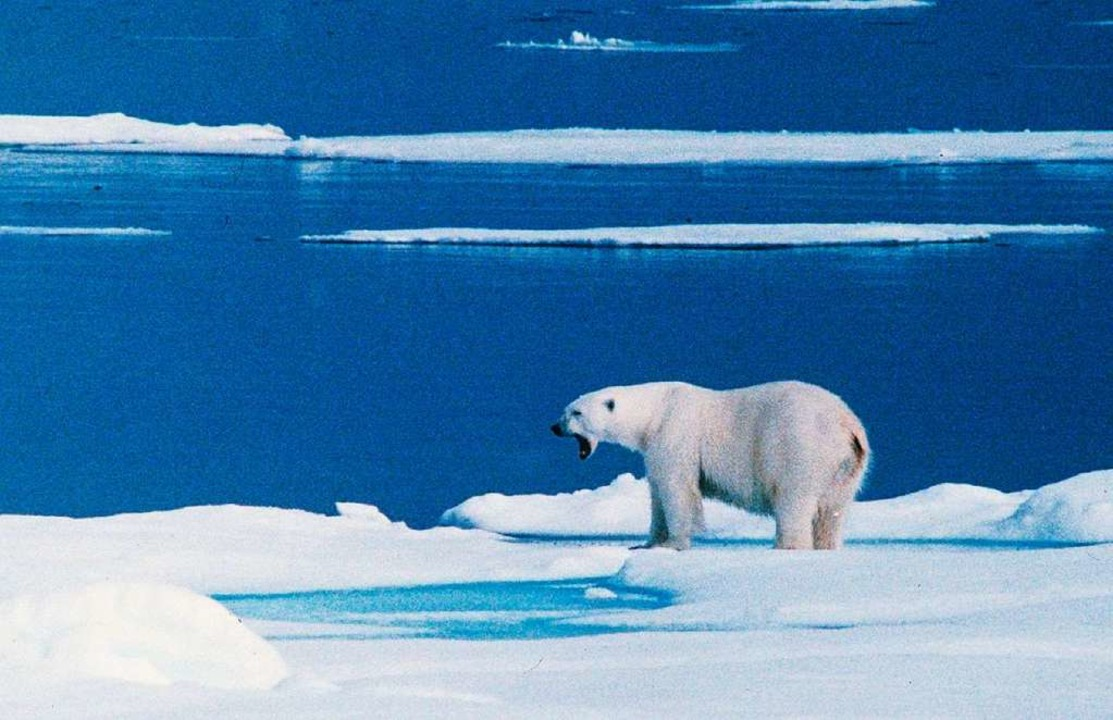Polarbären haben auf der sibirischen A...el Nowaja Semlja Menschen angegriffen.  | Foto: dpa
