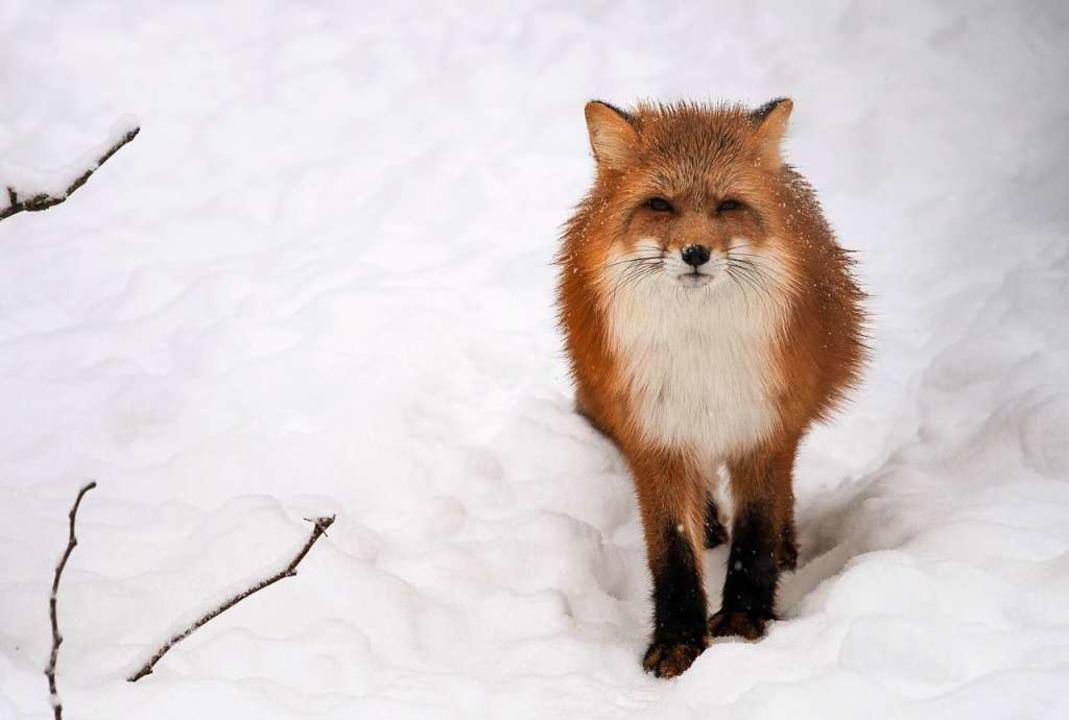 Ein Fuchs in freier Wildbahn  | Foto: DPA