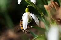 Biene auf Schneeglöckchen im Februar in Betzenhausen