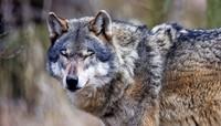 Wolfswanderung des Schwarzwaldverein Laufenburg mit Ausstellungsbesuch bei der Stoll Vita Stiftung in Waldshut
