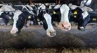 Anbindehaltung Ja oder nein? Landwirte diskutieren über Stall der Zukunft
