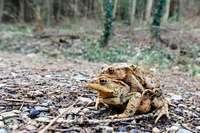 Die Kröten wandern wieder in Freiburg-Waldsee