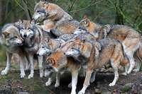 Fake: Wolfsrudel-Video entstand nicht im Schwarzwald