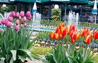 Das Tulpenfest in Lahr: Ein Garant für mieses Wetter?