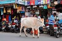 Heilige Kühe werden für Indiens Landwirte ein immer größeres Problem