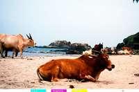 Warum sind Kühe in Indien heilig?