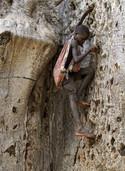 Der Baobab stirbt langsam