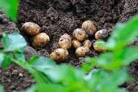 Mitte Mai werden die ersten Kartoffeln im südlichen Breisgau geerntet