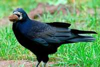 Wer Artenschutz sagt, muss auch die Krähen ertragen