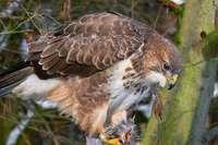 Greifvogel greift Spaziergänger im Wald bei Lörrach an