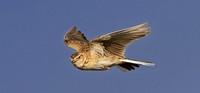 Vogel-Tag auf dem Feldberg für Groß und Klein. Informationen über Vögel im Hochschwarzwald mit Fokus auf der Feldlerche