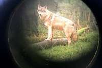 Abschuss nach Wolfsrissen soll leichter werden