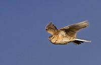 Vierter Feldberger Vogel-Tag steht im Zeichen der Feldlerche