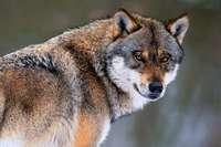 Das neue Wolfsgesetz ist richtig, verhindert aber keinen Streit um Abschüsse