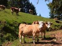 Fotos: Moderne Rinderzucht-Betriebe in Münstertal