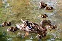 Rheinfelden: Polizei hilft Entenfamilie aus der Patsche