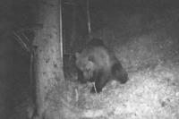 Bekommt der Südwesten Besuch von einem Braunbären?