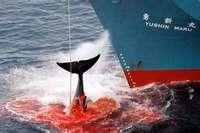 Japan will wieder Wale fangen