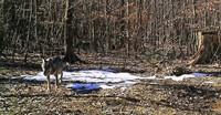 Ist ein Wolf im Schwarzwald unterwegs?