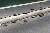 32 Singdrosseln sterben im Gewitter in Birsfelden