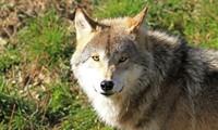 Zum Thema Wolf in Feldberg