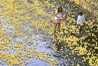 Tausende gelbe Entchen auf der Dreisam