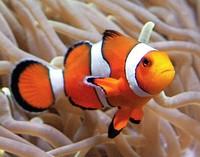 Clownfische reagieren sensibel auf beleuchtete Küsten