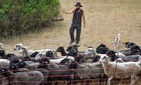 Schäfer bekommen Geld für den Schutz der Schafe