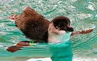 Pinguine richten sich unter Sushi-Stand in Neuseeland ein