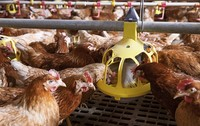 Weniger Antibiotika im Stall