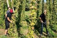 Machen Sie mit bei der Hopfenernte der Brauerei Ganter in Oberried!